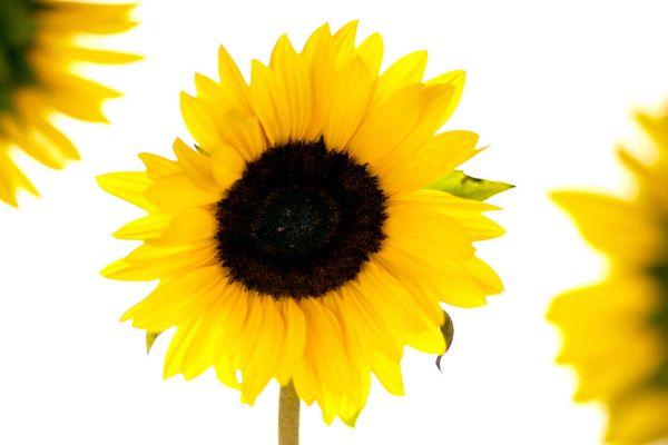 solsikke tekst COLOURBOX2456488